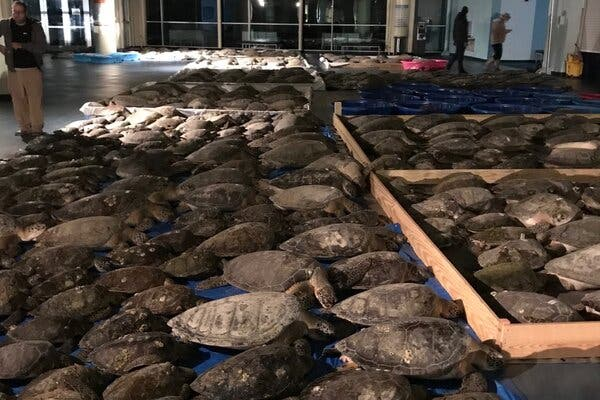 Sea turtles rescued on Monday were being housed at the South Padre Island Convention Center in Texas.