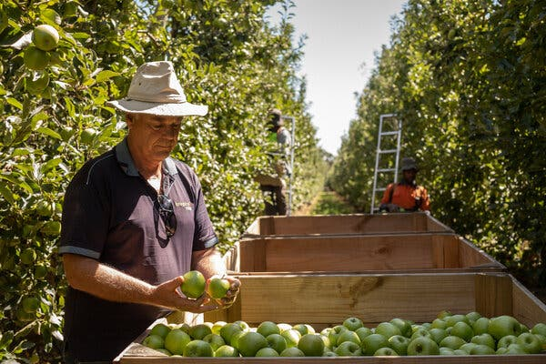 """""""We've never faced a worker shortage like this in my 40 years,"""" said Peter Hall at his orchard in Shepparton, Australia. """"I suspect for each lot of crop, we'll just not get there in time."""""""