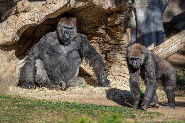 Some gorillas in a troop at the San Diego Zoo tested positive for the coronavirus in January. Zoo officials have been using an experimental vaccine on other apes, like orangutans and bonobos.